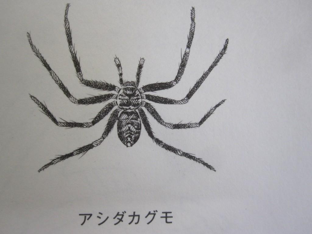 天敵アシダカグモのイラスト