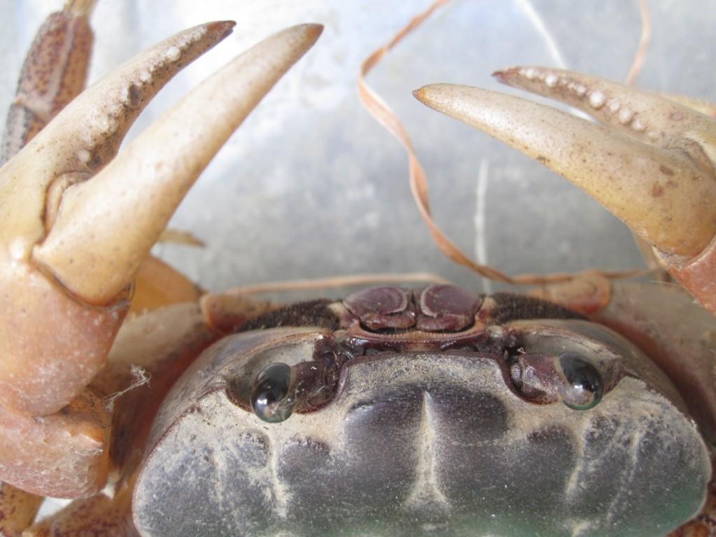 虫カゴの中をグルリと探索するドブガニ