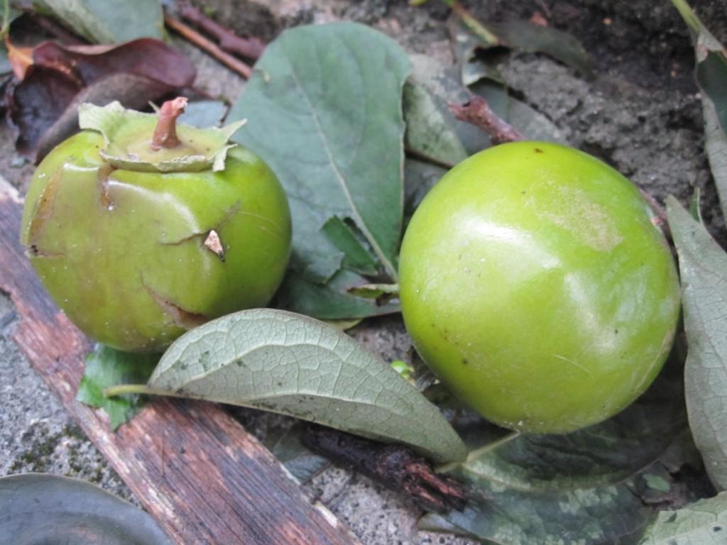 台風の強風で地面に落ちた未完熟の柿の実