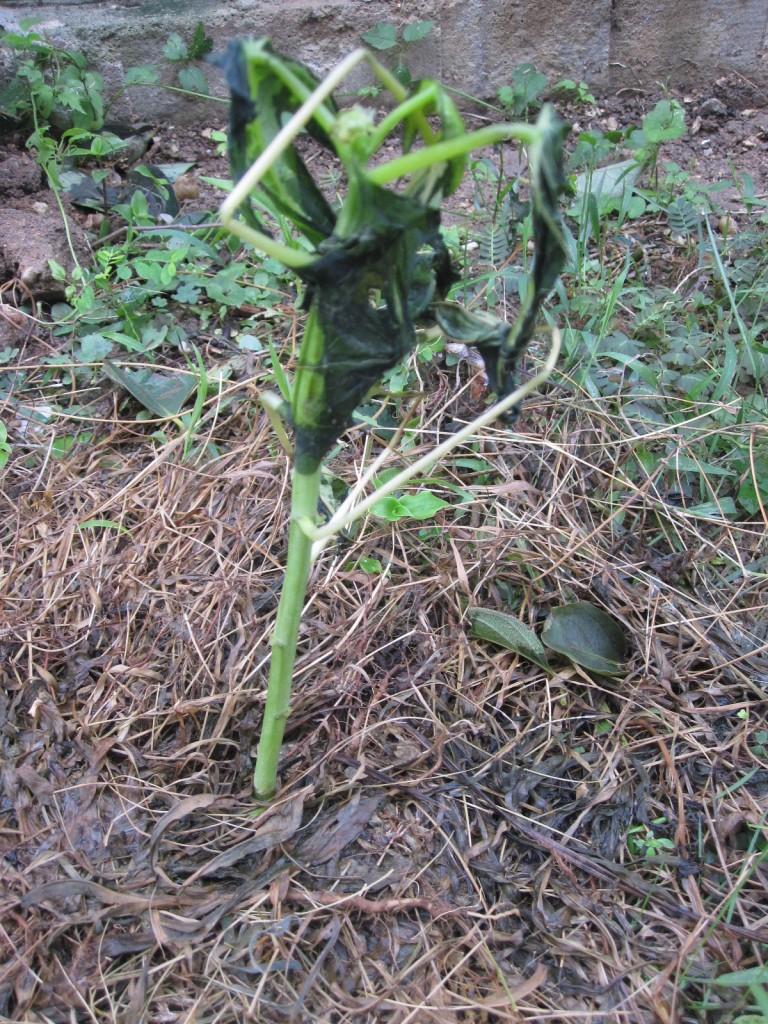 栽培中だった青パパイヤの苗が萎れた様子