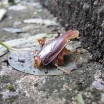 台風が近づくとゴキブリが増える?気圧の変化を感知して屋内に避難する?