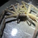 アシダカグモがゴキブリ捕獲器の罠に掛かった瞬間