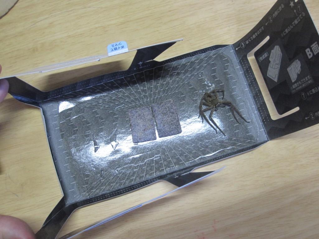 1匹のアシダカグモが罠に掛かった証拠写真