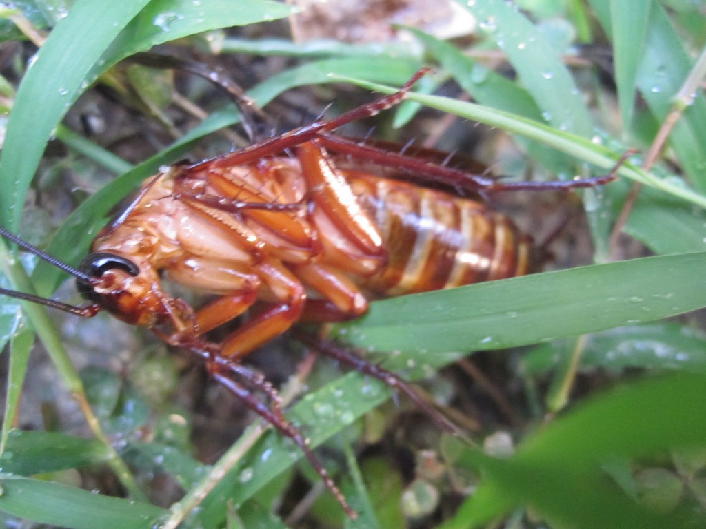 雑草に転がるワモンゴキブリの死骸