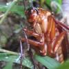 謎の不審死を遂げたワモンゴキブリの殺虫事件に遭遇