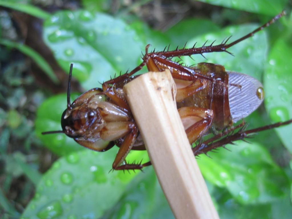 胸部から下がもぎ取られたゴキブリの死骸