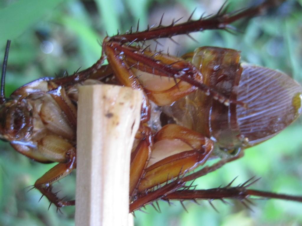 雨により損傷が進んだワモンゴキブリの死体