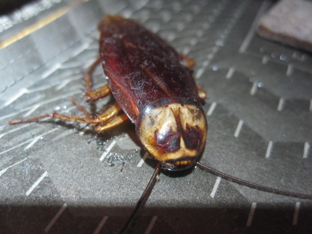 ワモンゴキブリの成虫が罠に掛かった様子