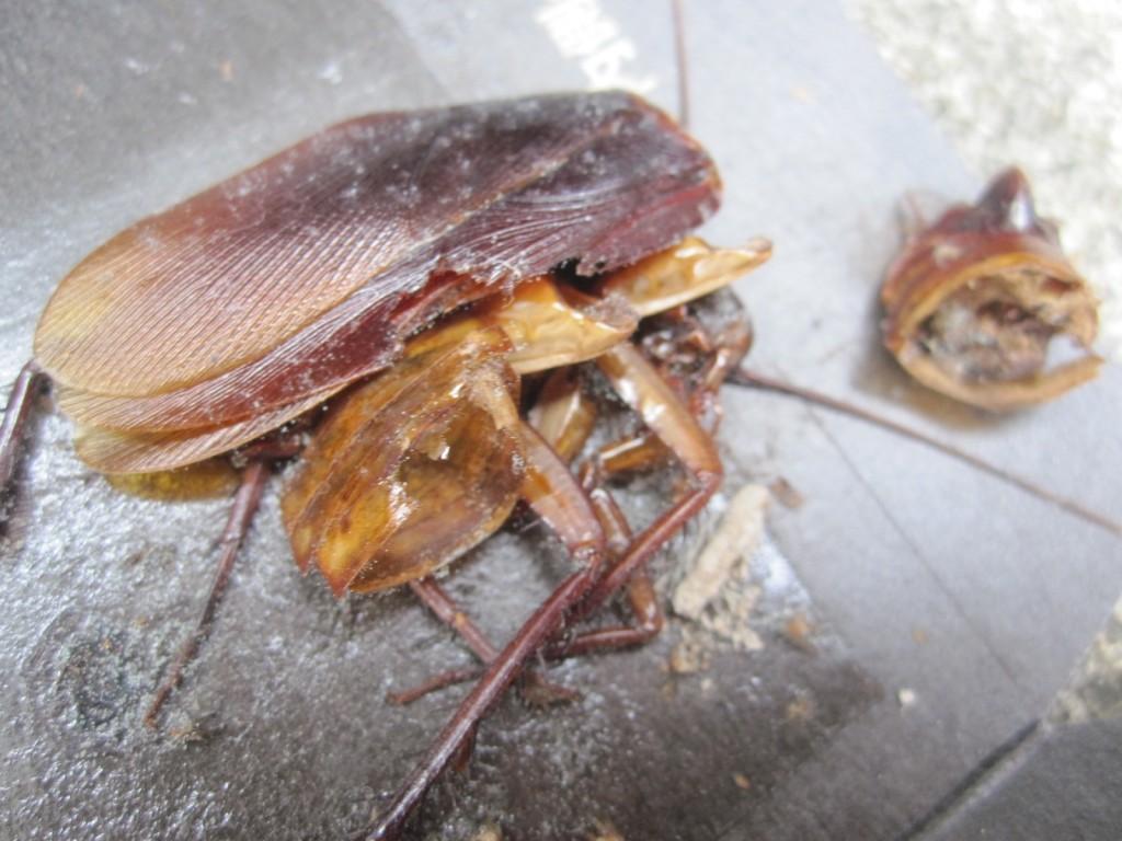 必死に逃げようとモガイて頭部が破損したゴキブリの死骸