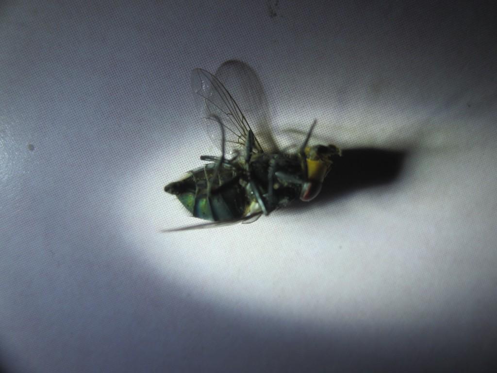 ゴキブリの次に嫌われる害虫の銀蠅