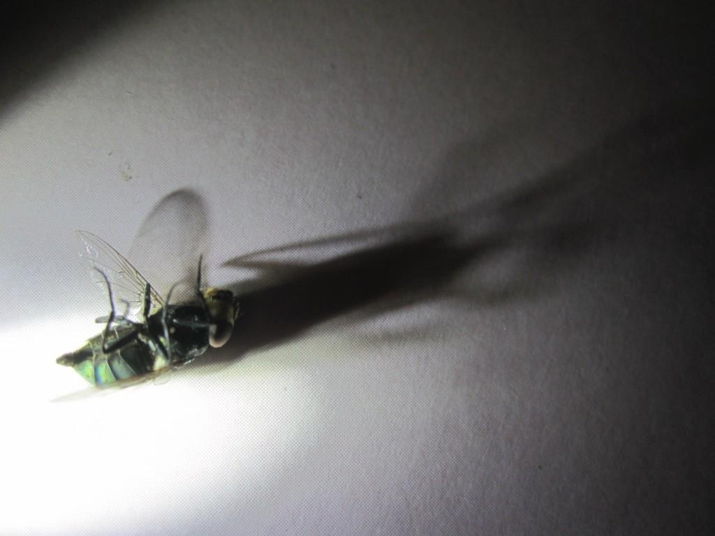 ハエのシルエットをした黒い影が巨大化する様子