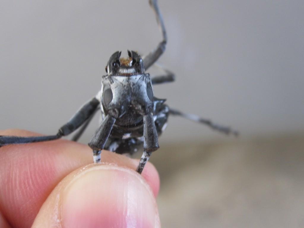 大顎をガシガシ噛んで威嚇するゴマダラカミキリ