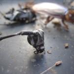 捕獲した害虫に一切水分を与えない『脱水駆除』なら数日で絶命する。