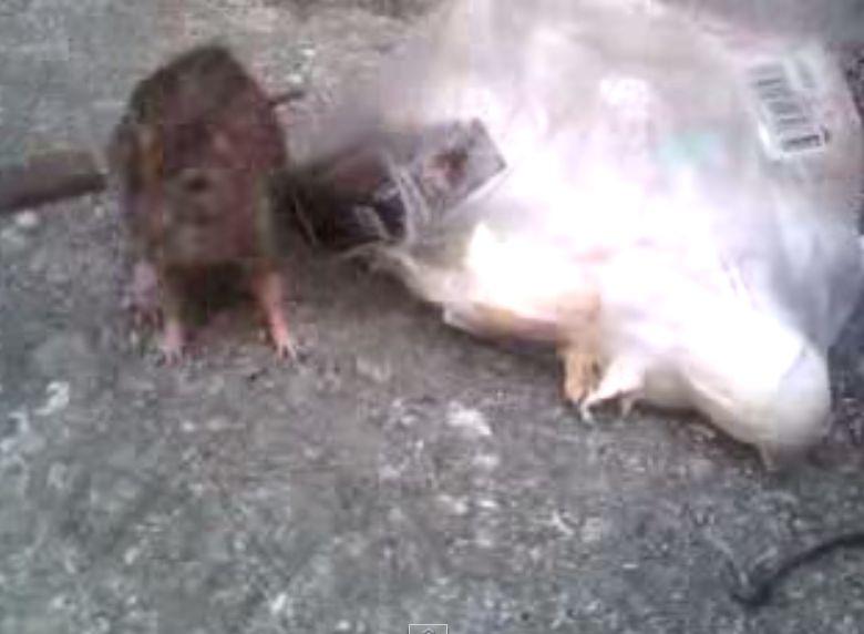 口の周りを丹念に掃除するドブネズミ