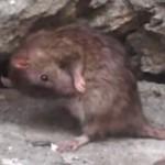 害獣ドブネズミが白昼堂々とゴミ袋を漁る!?