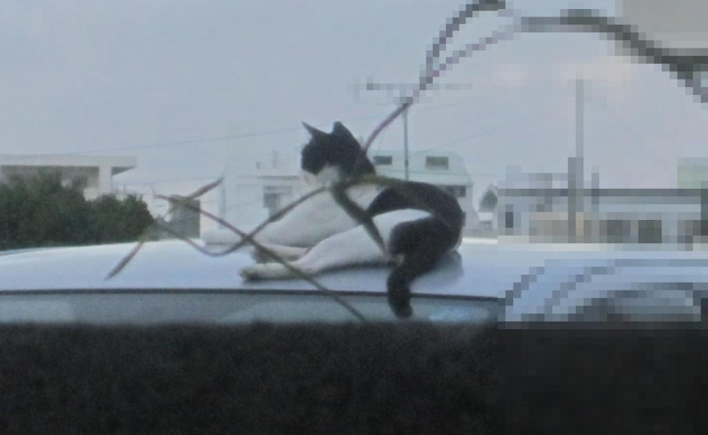 自動車(クルマ)の屋根で眠る野良猫