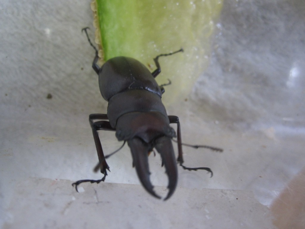 お腹いっぱいになって虫カゴの中を動き回るクワガタ