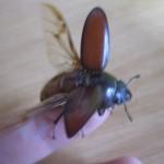 続!夏休み大人の昆虫採集でメス・クワガタを捕獲!?