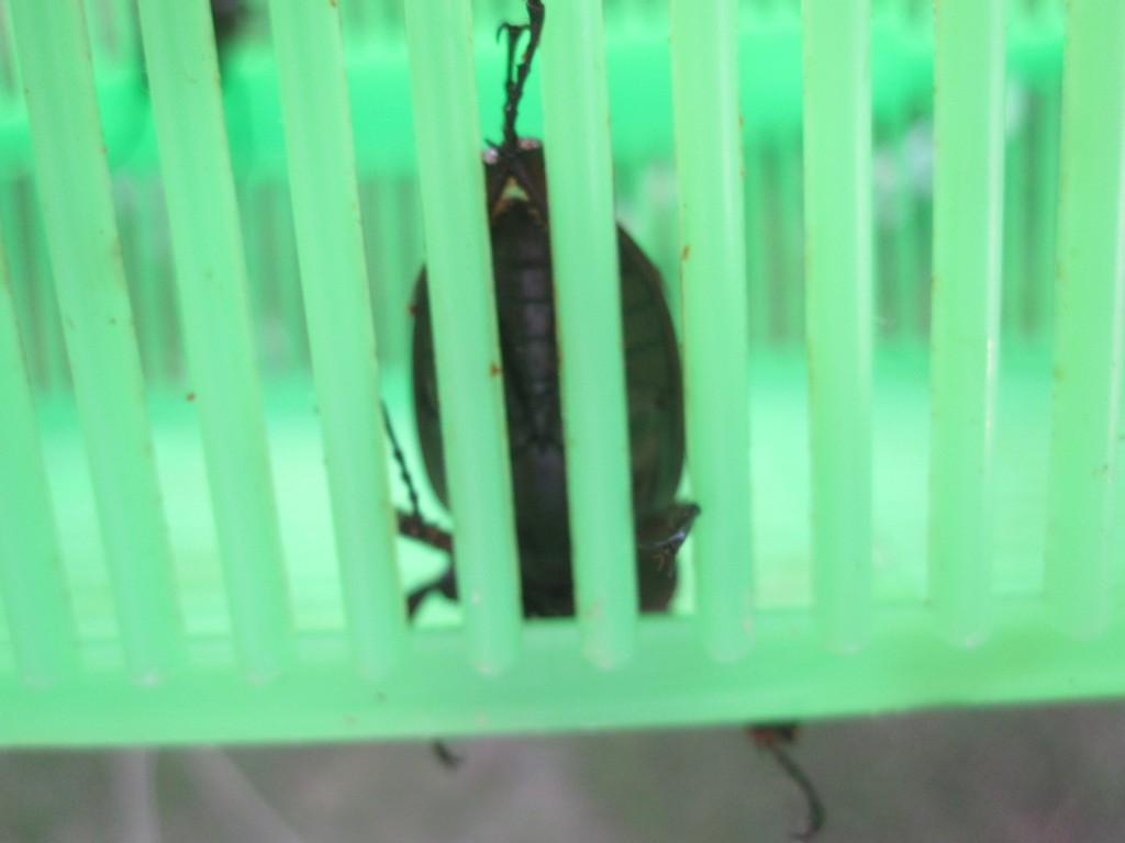 虫かごから出たそうなメスのクワガタ