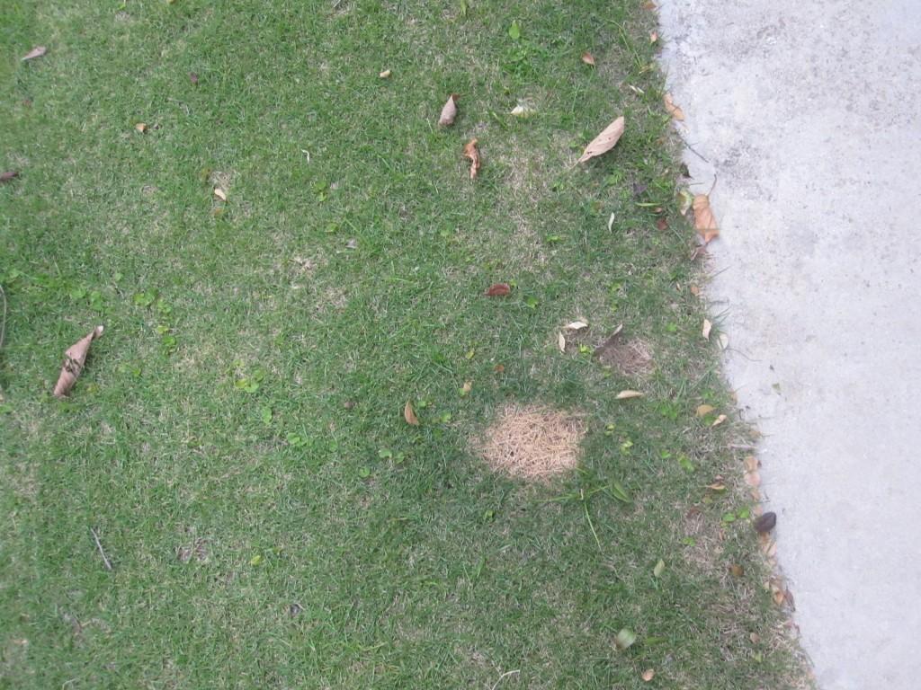 一か所だけ枯れてハゲた芝生