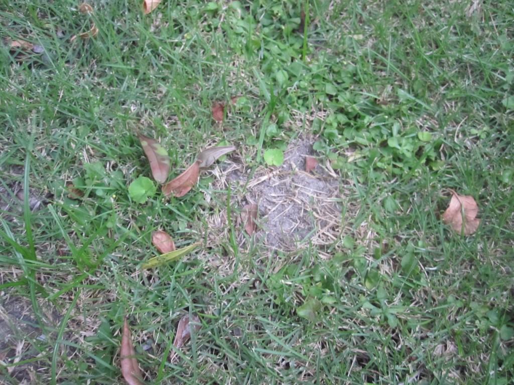 野良猫ウンチ爆弾が透過されて枯れた芝生