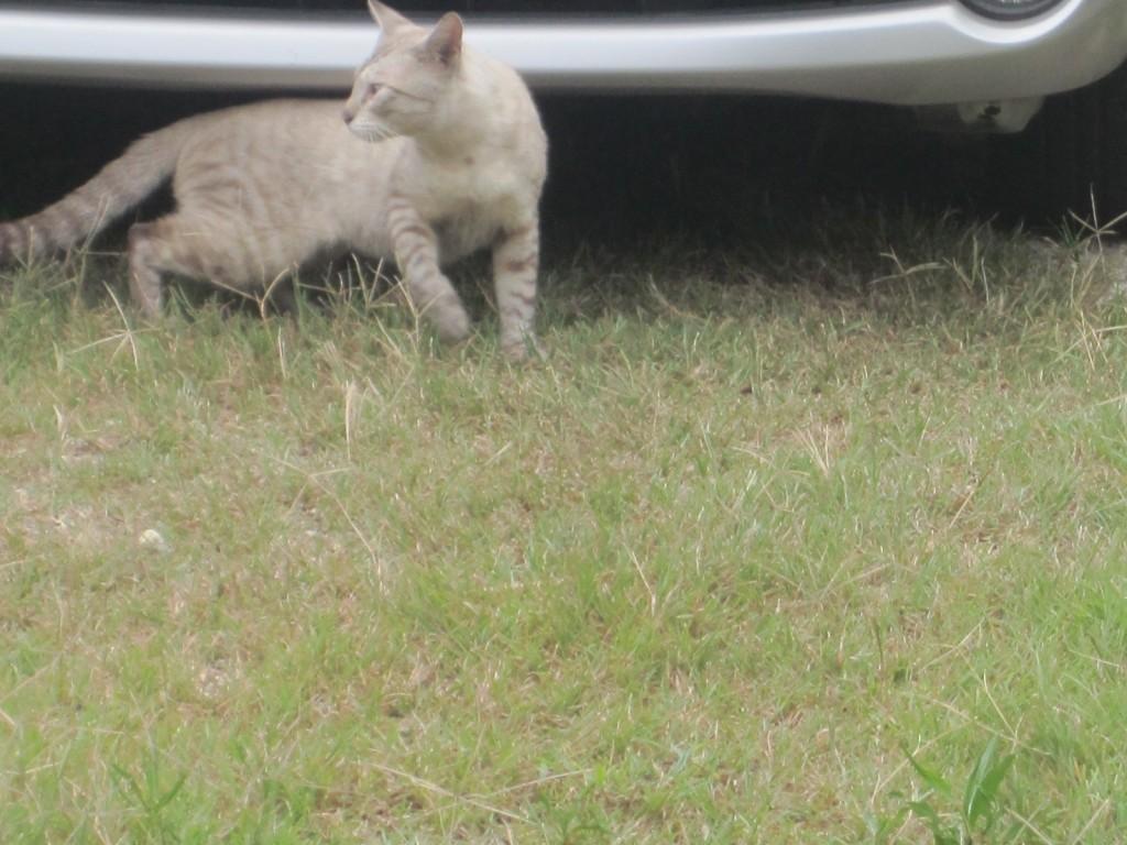 縄張り争い!?の喧嘩を終えた野良猫