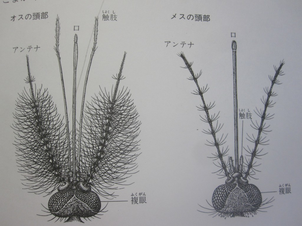 オスの蚊とメスの蚊の触覚の違いイラスト
