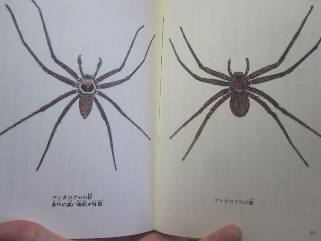 アシダカグモのオス(雄)とメス(雌)の違いの説明図
