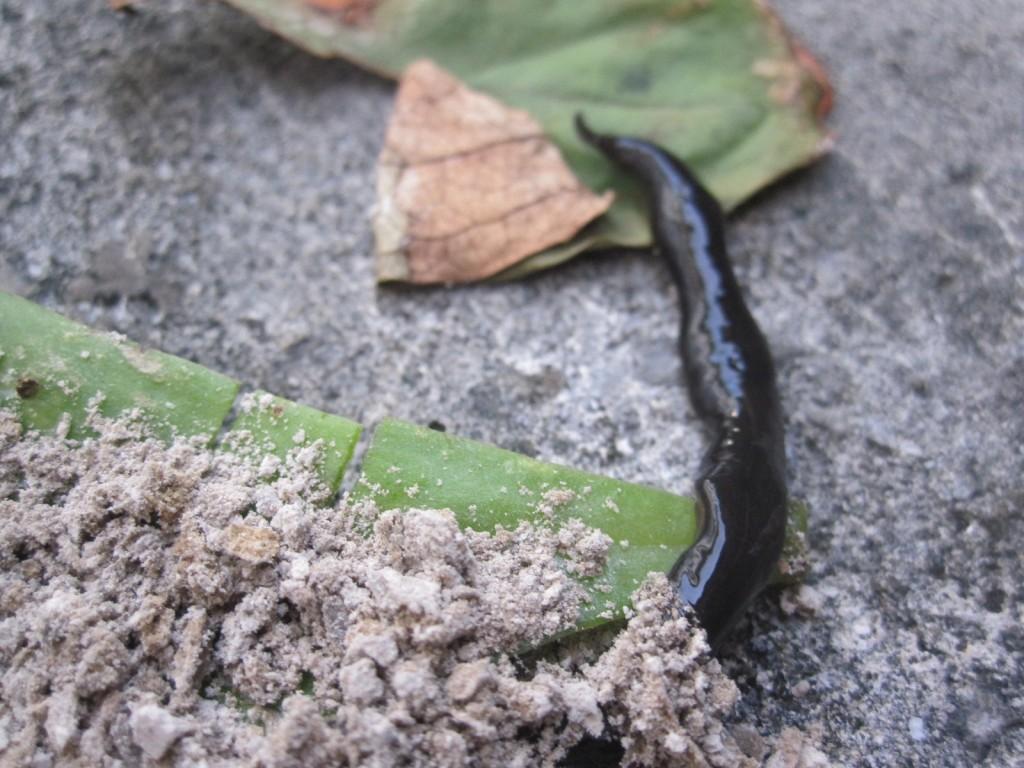 ニューギニアヤリガタリクウズムシにも蚊取り灰を試す