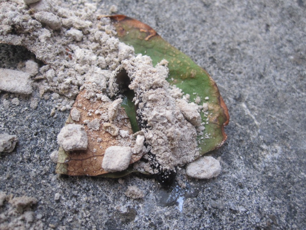 蚊取り線香の灰まみれになる肉食プラナリア