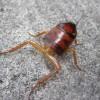 新種のゴキブリ発見か!?不死身のゾンビゴキブリだ!