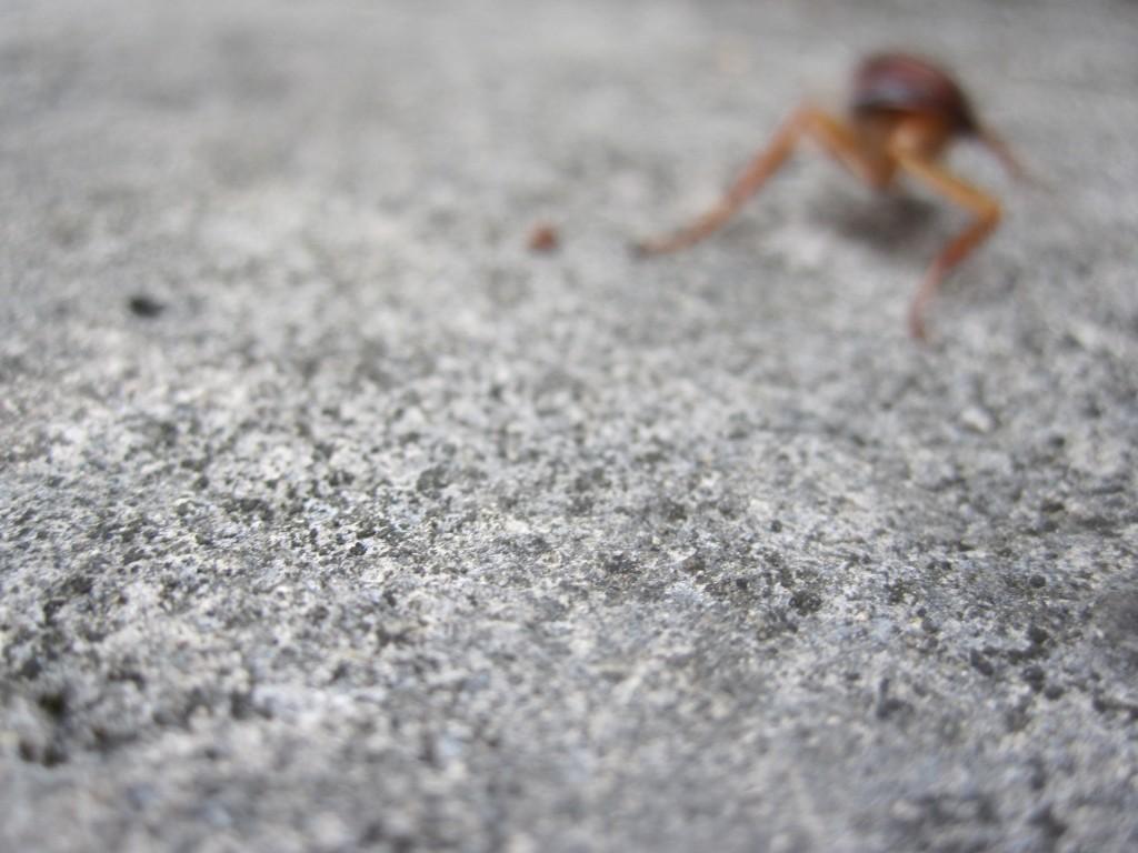 腹部の無いワモンゴキブリの幼虫