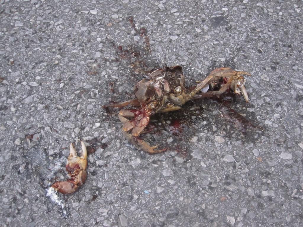 道路の真ん中で自動車に踏み潰されたドブガニの死骸