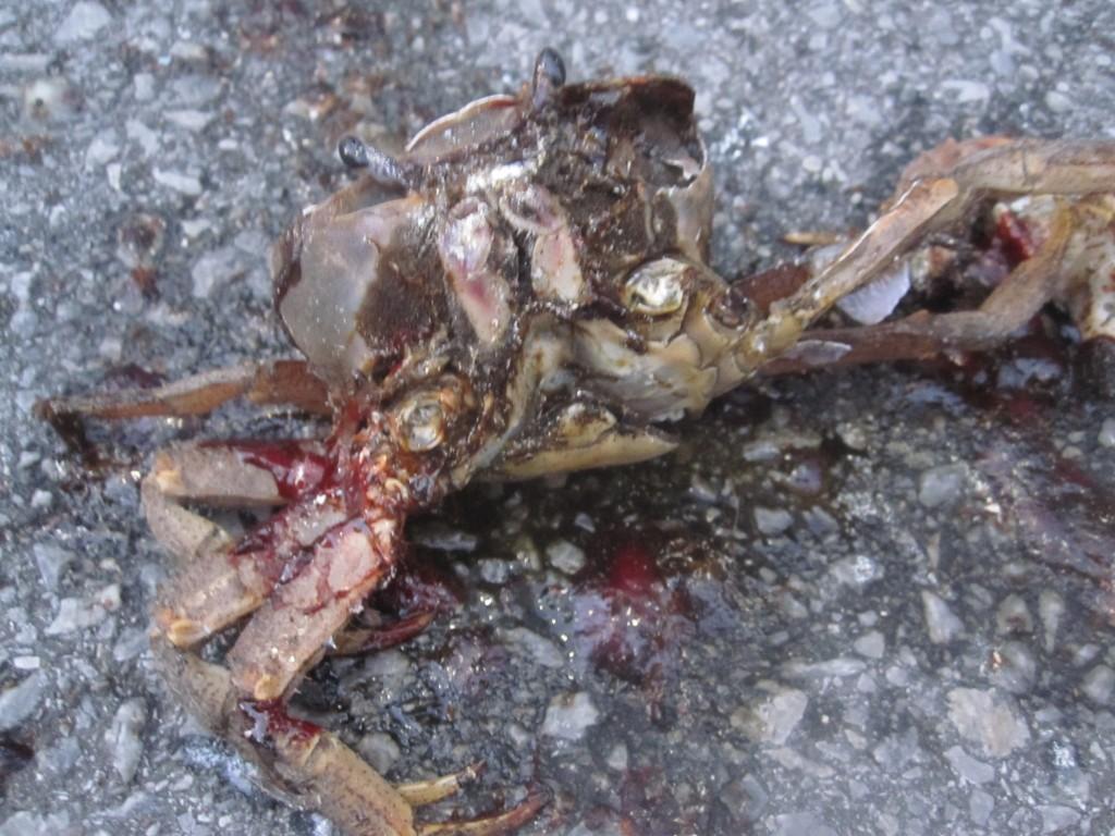 クルマに轢き殺されグチャグチャな無残な姿に成り果てたドブガニ