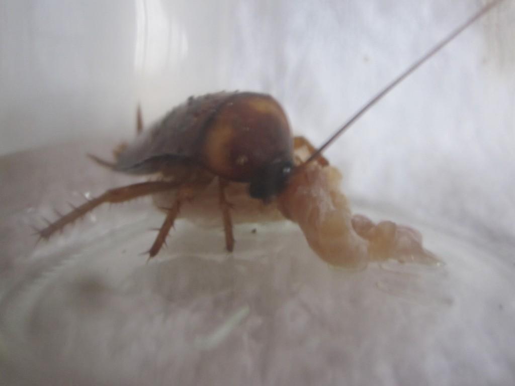 餌に噛み付いて貪り喰うワモンゴキブリの幼虫