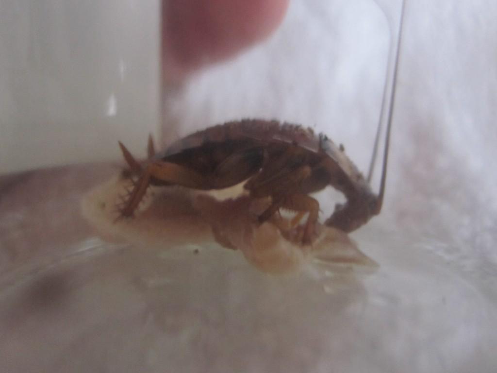体長ほどの肉を全て平らげるゴキブリの食欲