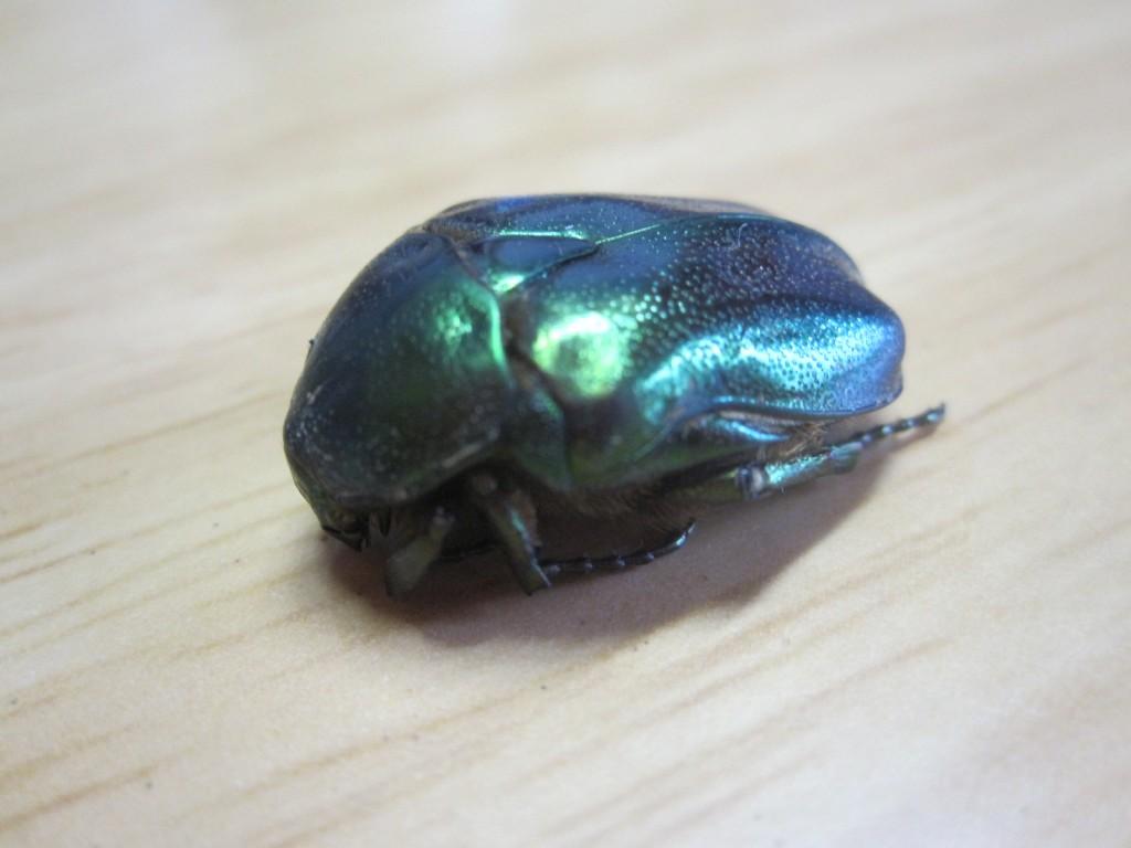擬死・死んだふりをする昆虫ハナムグリ