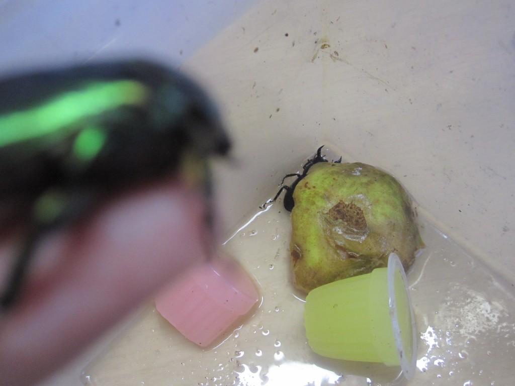 クワガタが入った虫かごを見学するハナムグリ