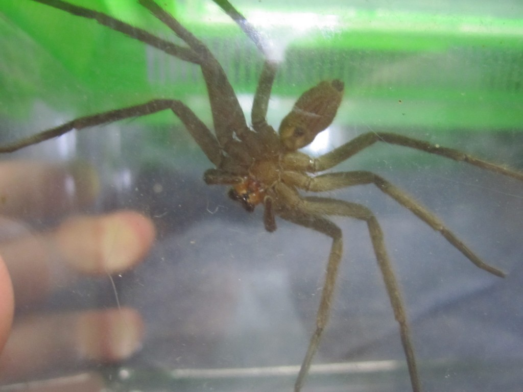 体長が約8センチほどの大きさ(サイズ)