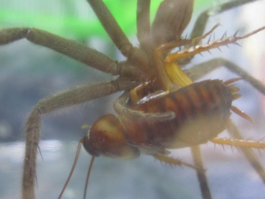 あっという間にゴキブリを捕まえたアシダカグモ