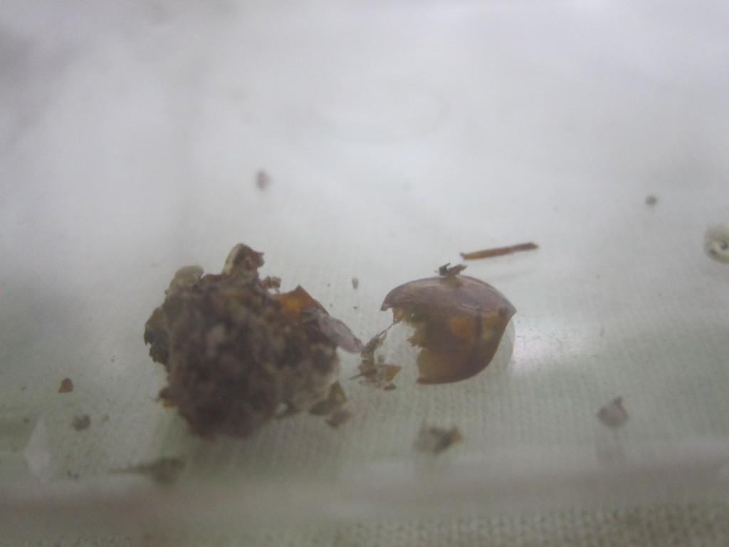 跡形もなく消え去ったワモンゴキブリ