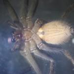 アシダカグモがゴキブリを捕食する証拠写真と動画