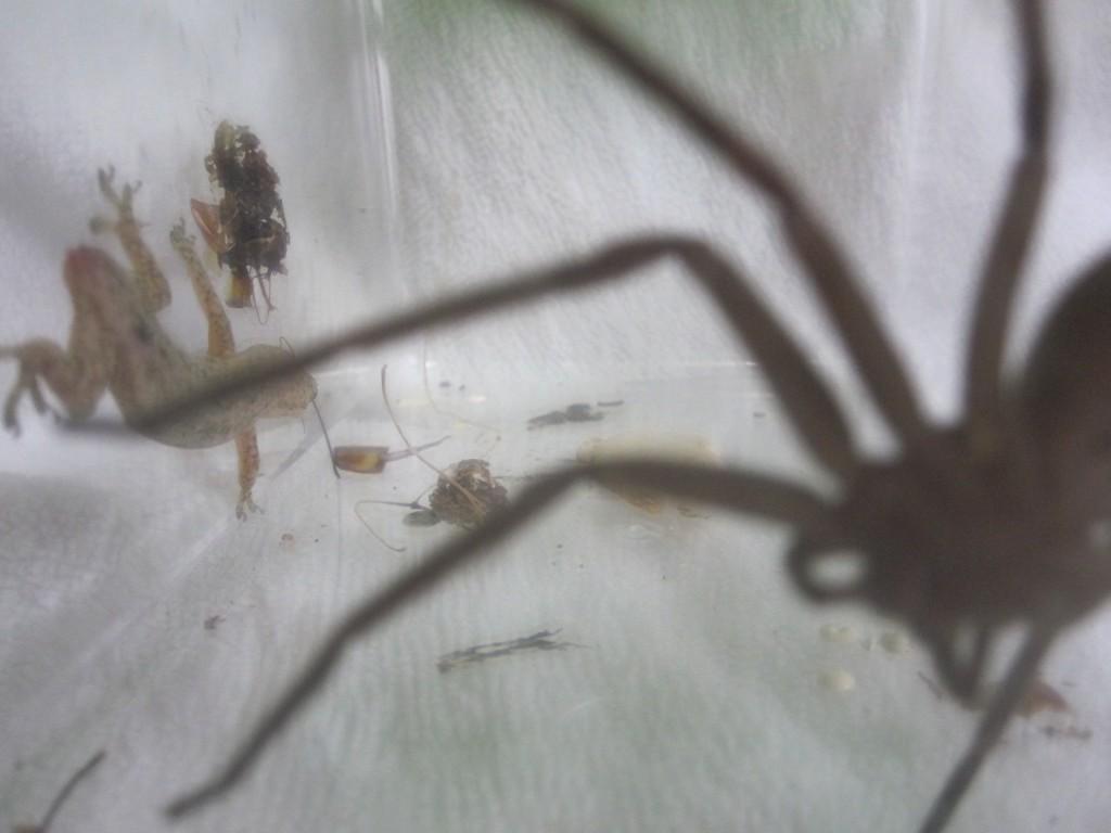 アシダカグモを警戒して遠ざかるヤモリ
