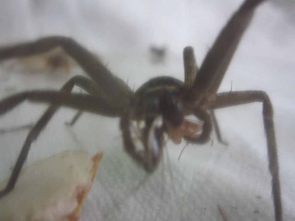 小さいゴキブリ2匹を同時に捕まえるアシダカグモ