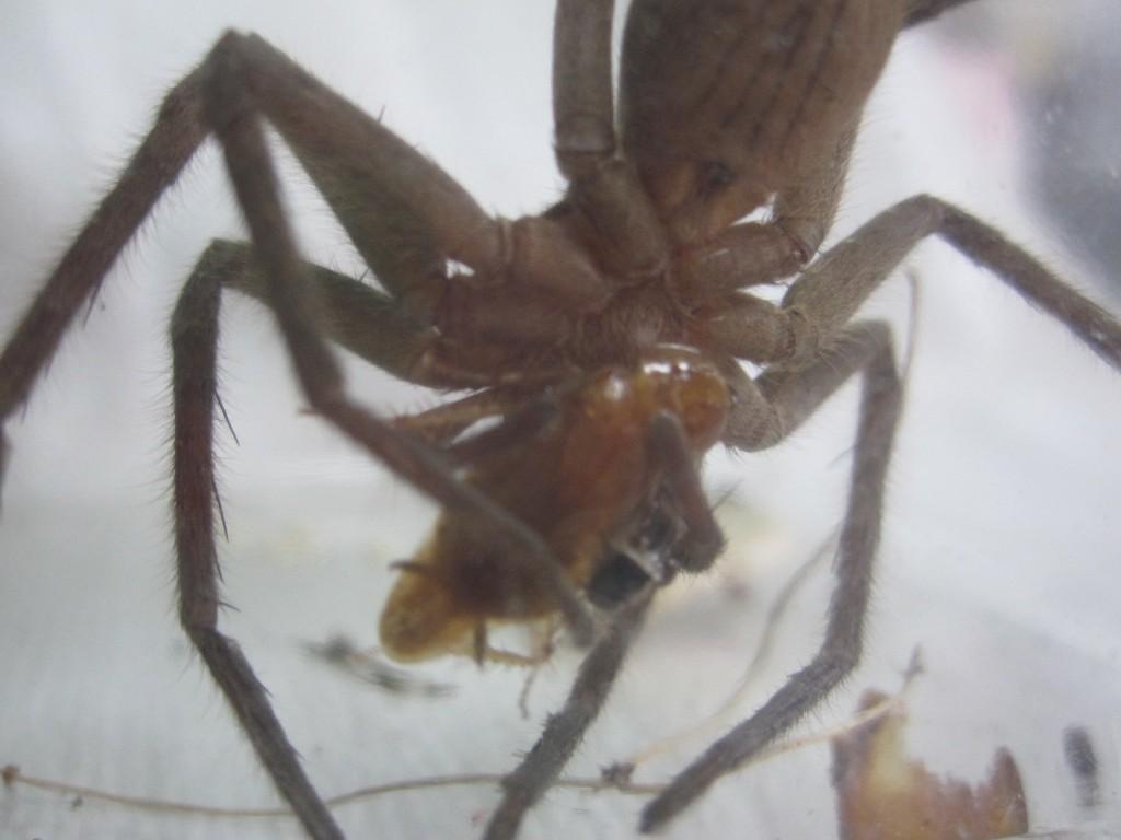 美味しそうにゴキブリを頬張るアシダカグモ