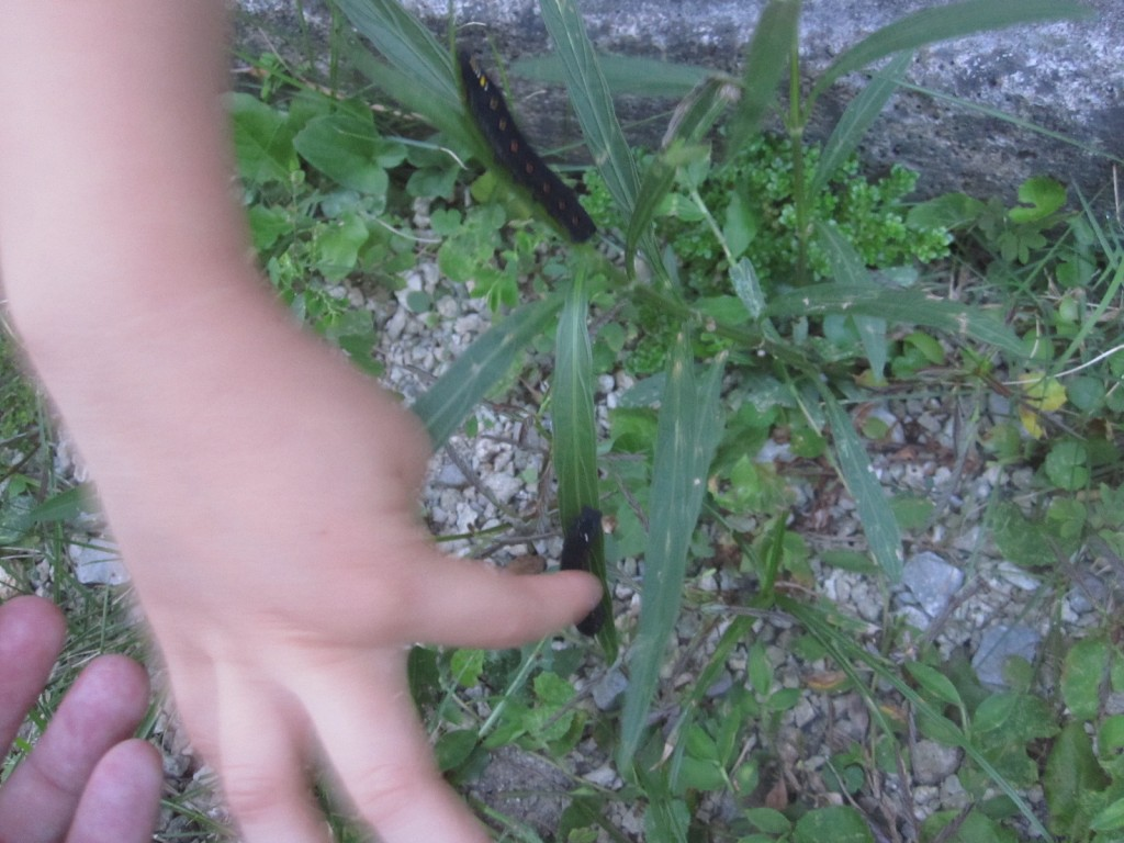 蛾(セスジスズメ)の黒い幼虫イモムシ