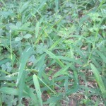 除草剤を使わず熱湯で雑草を枯らすことは可能か?