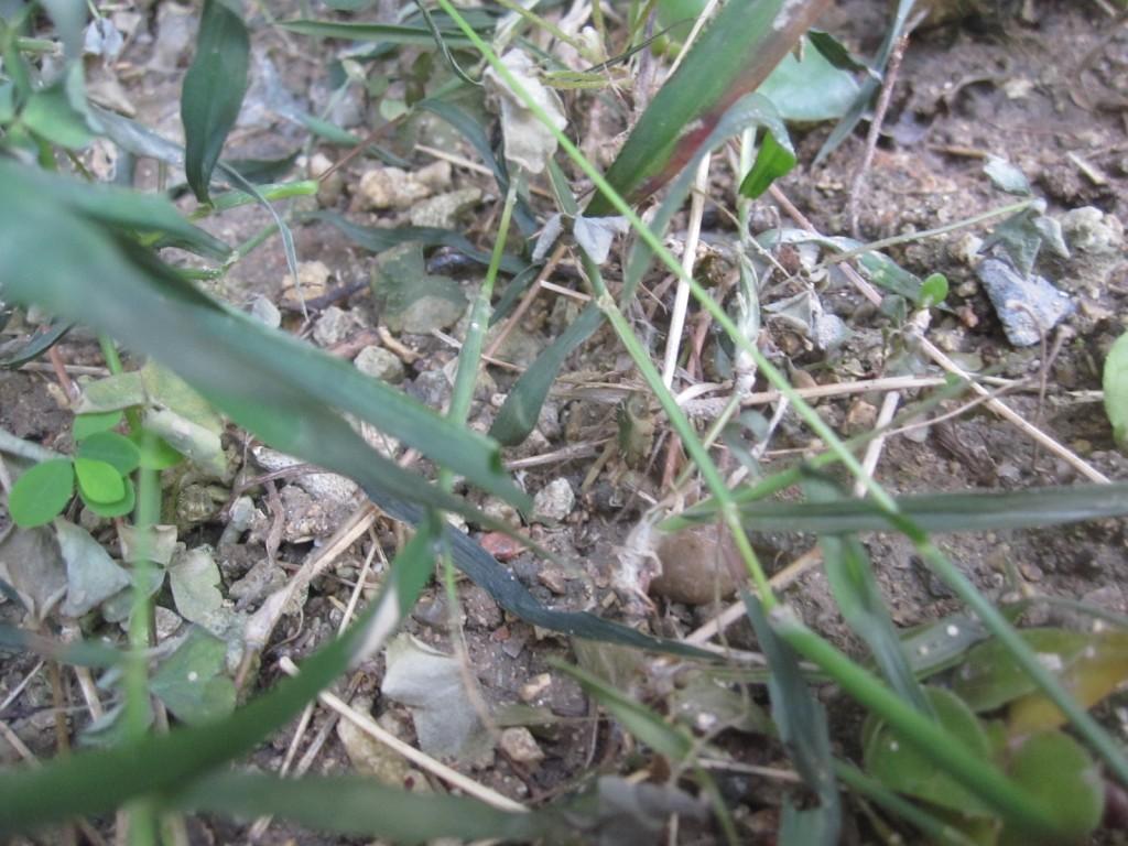 熱湯で枯れた雑草の数々