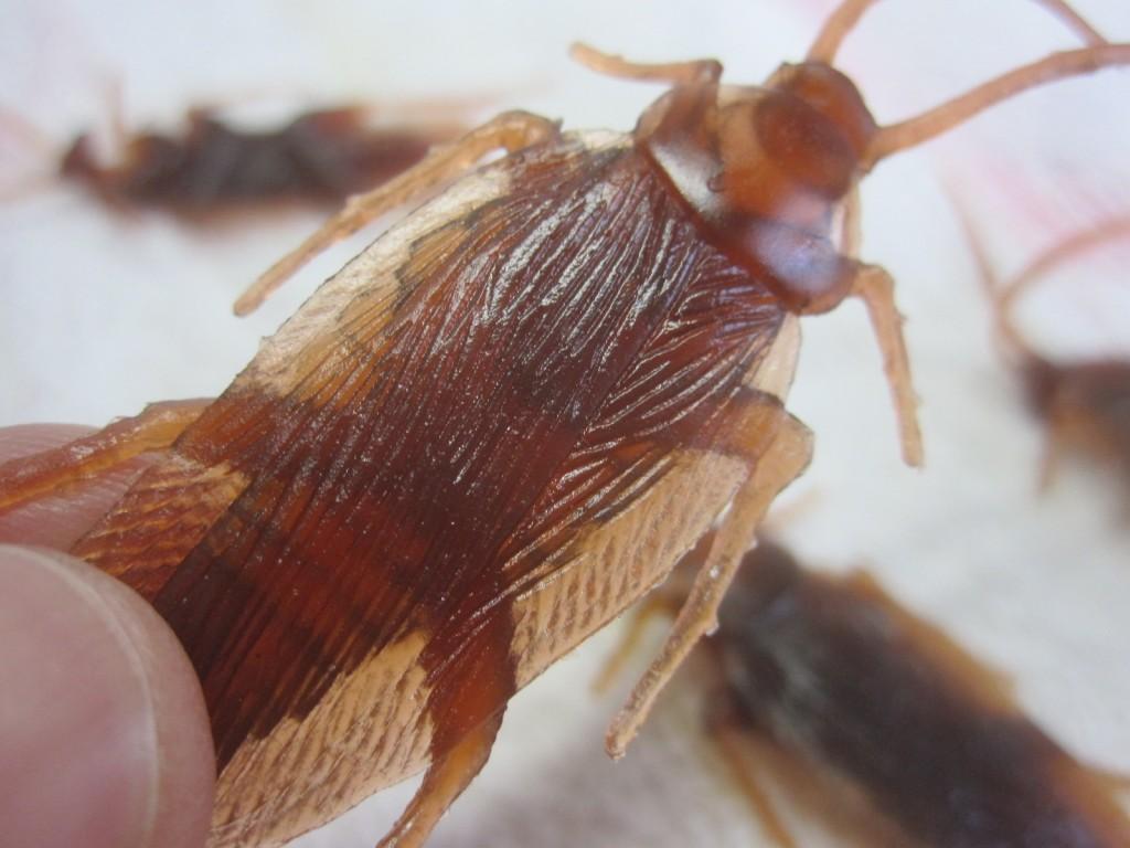 イミテーションゴキブリの羽の紋様