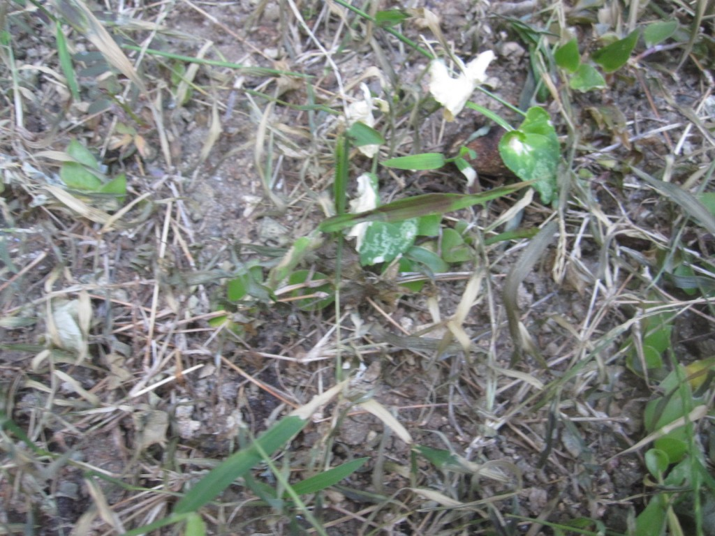 熱湯をかけられた雑草が枯れた様子